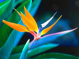 Bird_Of_Paradise,_Hawaii